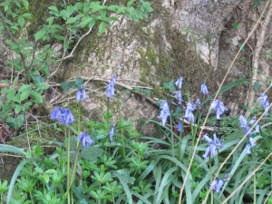 Bluebells at Barwheys