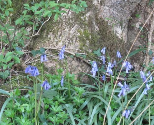 Bluebells at Barwheys