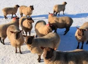 sheep in snowy field