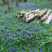 bluebells in Barwheys' woods